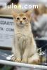 Молодой кот породы Сомали