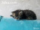 Котята селкирк рексы